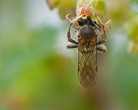 Early mining bee Andrena haemorrhoa Royalty Free Stock Image