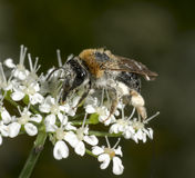 Early Mining Bee Stock Images
