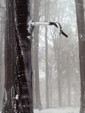 Early misty morning in deep beech forest, hoarfrost on trees and trunks, frozen branch. Stock Image