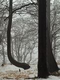 Early misty morning in deep beech forest, hoarfrost on trees and trunks, frozen ground. Royalty Free Stock Photo