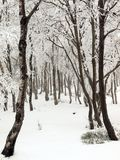 Early misty morning in deep birch forest, hoarfrost on trees and trunks, frozen branch. Stock Photos