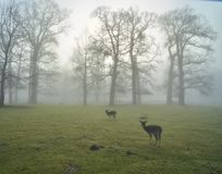 Early misty morning with deer Stock Images