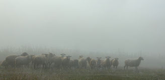 Early misty morning with a flock of sheep Stock Photos