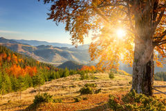 Early Morning Autumnal Landscape - yellow old tree against the s Royalty Free Stock Photo
