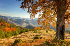 Early Morning Autumnal Landscape - yellow old tree in mountains Royalty Free Stock Images