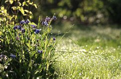 Early Morning Backlit Spring Meadow. Beautiful early morning in a sunlit wild flower meadow in the spring. With forget me not flowers and dewy grass Royalty Free Stock Images