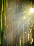 Early morning in the bamboo forest Royalty Free Stock Image