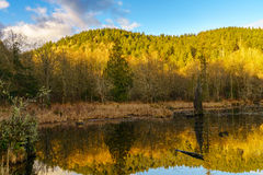 Early Morning Beaver Pond Royalty Free Stock Images