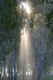 Early morning in birch forest Stock Photo