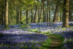 A Footpath in a Bluebell Wood stock photos