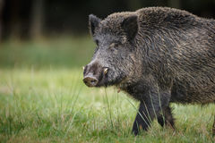 Early morning boar Stock Photos
