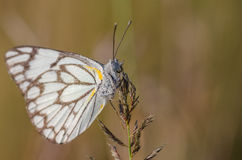 Early morning butterfly Stock Images