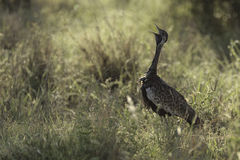 Black Bellied Bustard Royalty Free Stock Photo
