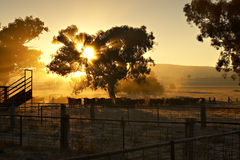 Early morning cattle Royalty Free Stock Photos