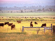 Early morning cattle grazing. Cattle grazing at sunrise. Scene is divided by layers of fences, creeks, fields, trees and hills. The morning sun is giving a Royalty Free Stock Photography