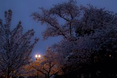 Early morning cherry blossoms. Cherry blossoms lit by a streetlight by the Washington, DC Tidal Basin Royalty Free Stock Image