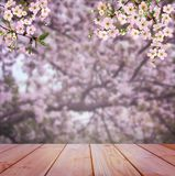 Early morning in the cherry orchard. Blooming cherry. Cherry blossoms. Stock Image