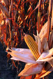 Early Morning Corn. Corn in field on stalk royalty free stock photo