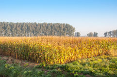 Silage maize ripe for harvesting Royalty Free Stock Photos