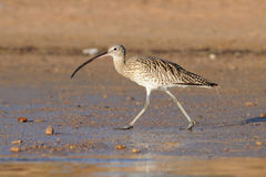 Early morning Curlew walking at Sharm el-Sheikh beach of Red Sea Royalty Free Stock Image