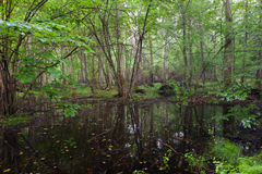 Early morning in deciduous stand of Bialowieza Forest Stock Photo