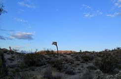Early morning desert landscape with bright blue sky in yucca valley california. Early morning desert landscape with bright blue sky in yucca valley southern Royalty Free Stock Photos