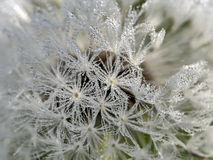 Early morning dew on dandelion, nature Royalty Free Stock Photography