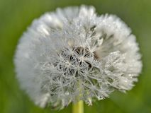 Early morning dew on dandelion, nature Stock Images