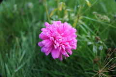 Early morning dew drops pink flower Royalty Free Stock Photo