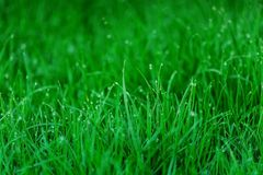 Early morning dew on fresh green grass. royalty free stock images