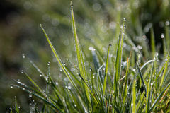 Early Morning Dew On Grass Royalty Free Stock Photography
