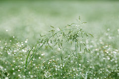 Early  Morning Dew in Grass. Morning dew on blades of grass and spikelets, macro Royalty Free Stock Image
