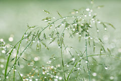 Early  Morning Dew in Grass. Morning dew on blades of grass and spikelets, macro Royalty Free Stock Images