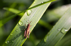 Early morning dew and grasshopper Stock Image