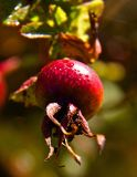 Early morning dew. On a rose hip,at Island View  Beach, central,Saanich, vancouver Island BC canada Royalty Free Stock Photos