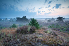 Early morning on dunes with heather Royalty Free Stock Images