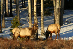 Early Morning Elk Stock Photos