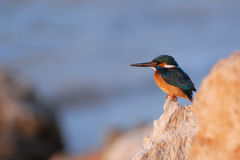 Early morning emerald kingfisher on Red Sea coast stone. Egypt. Royalty Free Stock Photos