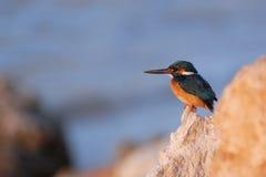 Early morning emerald kingfisher on Red Sea coast stone. Egypt. Royalty Free Stock Photos