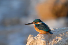 Early morning emerald kingfisher on Red Sea coast stone. Egypt. Stock Image