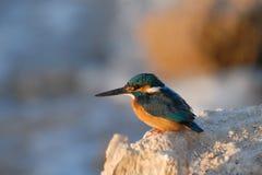 Early morning emerald kingfisher on Red Sea coast stone. Egypt. Stock Image