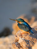 Early morning emerald kingfisher on Red Sea coast stone. Egypt. Royalty Free Stock Images