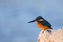 Early morning emerald kingfisher on Red Sea coast stone. Egypt. Stock Photography