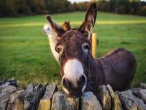 Donkey with alpaca stock image
