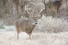Early morning frost on big whitetail buck. Whitetail buck with frost on his back fur Royalty Free Stock Photos
