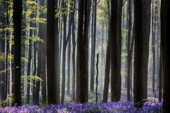Early morning first sun light awakening the spring forest covered with violet bluebell wild flowers royalty free stock images