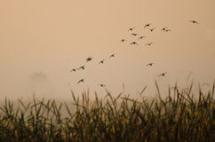 Early Morning Flight of Ducks Above Foggy Marsh Stock Images