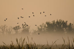 Early Morning Flight of Ducks Above Foggy Marsh Stock Photo