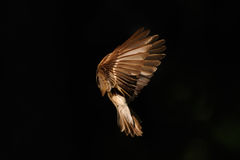 Early morning flight of female Pied Flycatcher Royalty Free Stock Photography