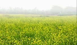 Early morning fog on the field of  flower Brassicaceae. Broccoli or Cruciferae  is a moderately sized and economically important family of flowering plants Stock Images